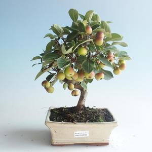 Outdoor bonsai - Malus halliana - Small Apple 408-VB2019-26766