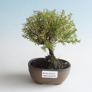 Outdoor bonsai-Bush Cinquefoil - Dasiphora fruticosa yellow 408-VB2019-26776