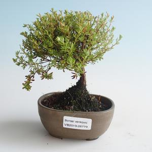 Outdoor bonsai-Bush Cinquefoil - Dasiphora fruticosa yellow 408-VB2019-26779