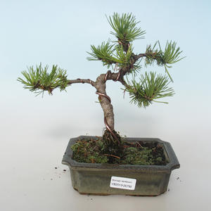 Outdoor bonsai - Pinus mugo Humpy - Pine kneel 408-VB2019-26792