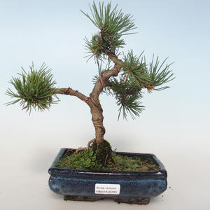 Outdoor bonsai - Pinus mugo Humpy - Pine kneel 408-VB2019-26793