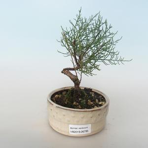 Outdoor bonsai - Tamaris parviflora Small-leaved Tamarisk 408-VB2019-26795