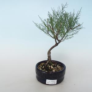 Outdoor bonsai - Tamaris parviflora Small-leaved Tamarisk 408-VB2019-26799