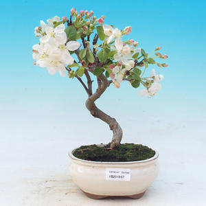 Outdoor bonsai - Malus halliana - Malplate apple tree