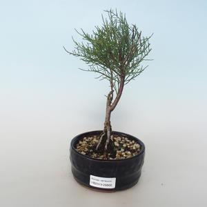 Outdoor bonsai - Tamaris parviflora Small-leaved Tamarisk 408-VB2019-26800