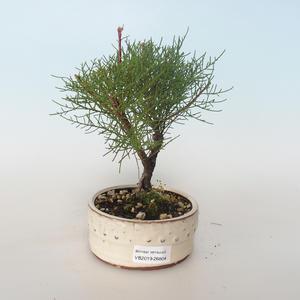 Outdoor bonsai - Tamaris parviflora Small-leaved Tamarisk 408-VB2019-26804