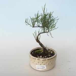 Outdoor bonsai - Tamaris parviflora Small-leaved Tamarisk 408-VB2019-26805