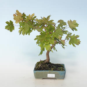 Outdoor bonsai-Acer campestre-Maple Baby 408-VB2019-26809