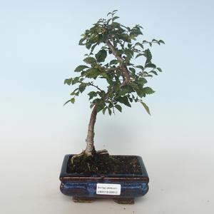 Outdoor bonsai-Ulmus parvifolia-Small leaf elm 408-VB2019-26812