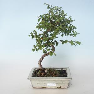Outdoor bonsai-Ulmus parvifolia-Small leaf elm 408-VB2019-26817