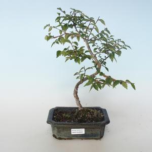 Outdoor bonsai-Ulmus parvifolia-Small leaf elm 408-VB2019-26820