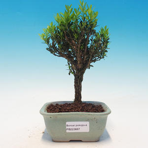 Room bonsai - Buxus harlandii