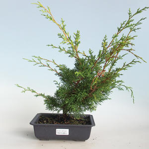 Outdoor bonsai - Juniperus chinensis Itoigava-Chinese juniper VB2019-26913