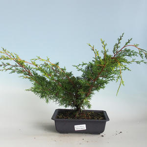 Outdoor bonsai - Juniperus chinensis Itoigava-Chinese juniper VB2019-26918