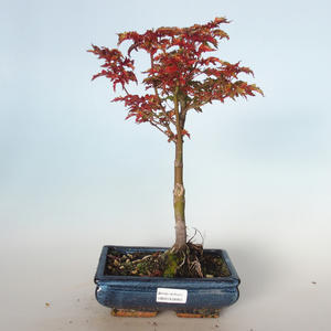 Outdoor bonsai - Acer palmatum SHISHIGASHIRA- Small maple VB-26955