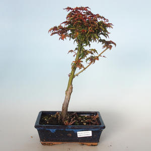 Outdoor bonsai - Acer palmatum SHISHIGASHIRA- Small maple VB-26957