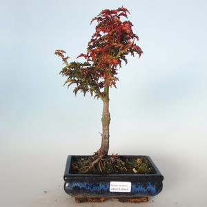 Outdoor bonsai - Acer palmatum SHISHIGASHIRA- Small maple VB-26959
