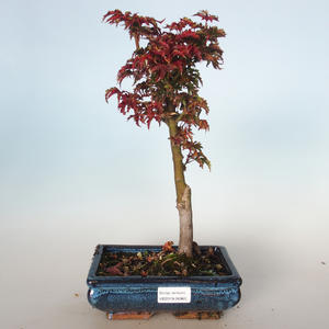 Outdoor bonsai - Acer palmatum SHISHIGASHIRA- Small maple VB-26960