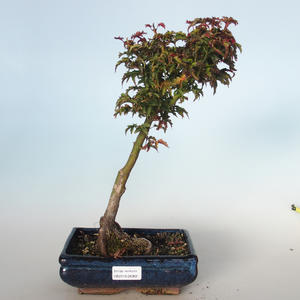 Outdoor bonsai - Acer palmatum SHISHIGASHIRA- Small Maple VB-26962