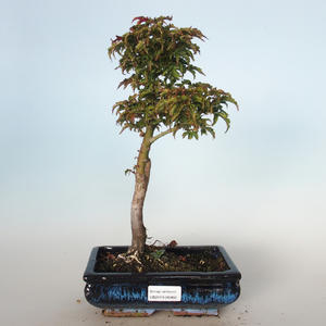 Outdoor bonsai - Acer palmatum SHISHIGASHIRA- Small maple VB-26966