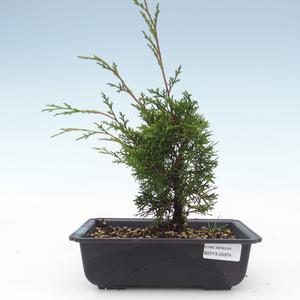 Outdoor bonsai - Juniperus chinensis Itoigawa-Chinese juniper VB2019-26974