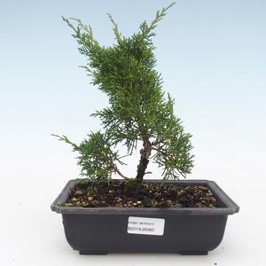 Outdoor bonsai - Juniperus chinensis Itoigawa-Chinese juniper VB2019-26980