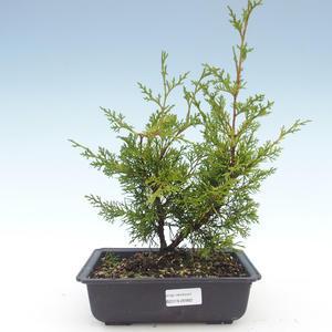 Outdoor bonsai - Juniperus chinensis Itoigawa-Chinese juniper VB2019-26982