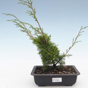 Outdoor bonsai - Juniperus chinensis Itoigawa-Chinese juniper VB2019-26983