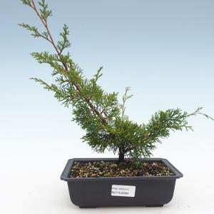 Outdoor bonsai - Juniperus chinensis Itoigawa-Chinese juniper VB2019-26984