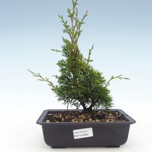 Outdoor bonsai - Juniperus chinensis Itoigawa-Chinese juniper VB2019-26988