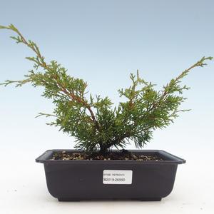 Outdoor bonsai - Juniperus chinensis Itoigawa-Chinese juniper VB2019-26990