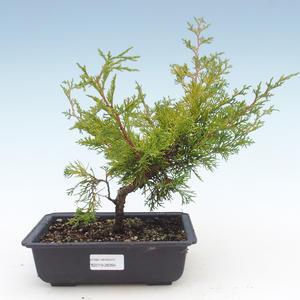 Outdoor bonsai - Juniperus chinensis Itoigawa-Chinese juniper VB2019-26994