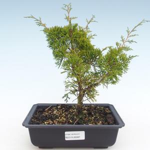 Outdoor bonsai - Juniperus chinensis Itoigawa-Chinese juniper VB2019-26997