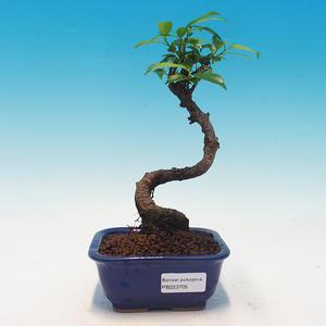 Room bonsai - Ficus retusa - malolistý ficus