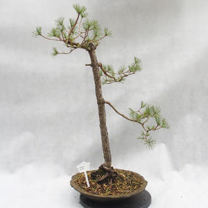 Outdoor bonsai forest -Borovice - Pinus sylvestris