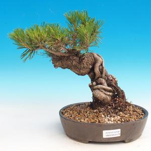 Pinus thunbergii - Pine thunbergova