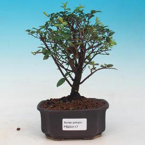 Room bonsai - Sagetie thea - Sagetie thea