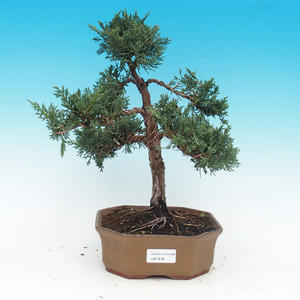 Outdoor bonsai - Juniperus chinensis Chinese -Jalovec