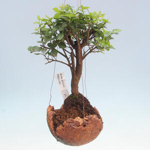 Kokedama v keramice - Sagerécie čajová - Sageretia thea