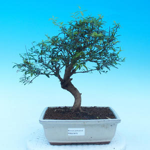 Room bonsai-PUNICA granatum nana-Pomegranate