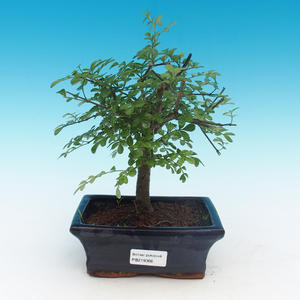 Room bonsai - Fraxinus uhdeii - room ash