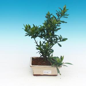 Room bonsai - Gardenia jasminoides-Gardenie