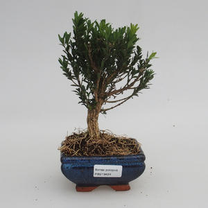 Room bonsai - Buxus harlandii - cork buxus