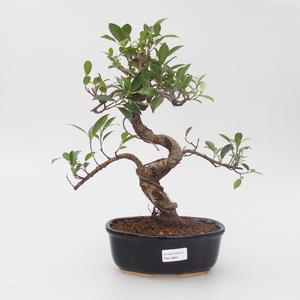 Room bonsai - Ficus retusa - small ficus