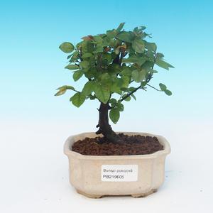 House bonsai - Sagerécie thea - Sagerécie thea
