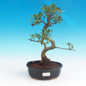 Indoor bonsai - Ficus retusa - small ficus