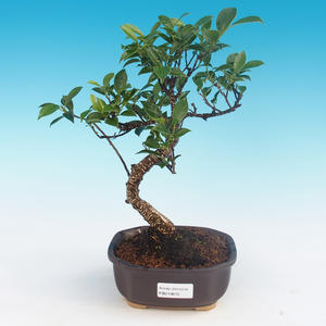 Indoor bonsai - Ficus kimmen - small ficus
