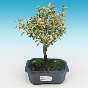 Room bonsai - Serissa foetida Variegata - Strom thousands of stars