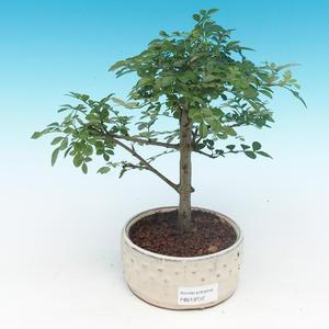 Room bonsai - Fraxinus uhdeii - room ash