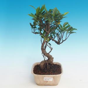 Room bonsai - Ficus kimmen - little ficus